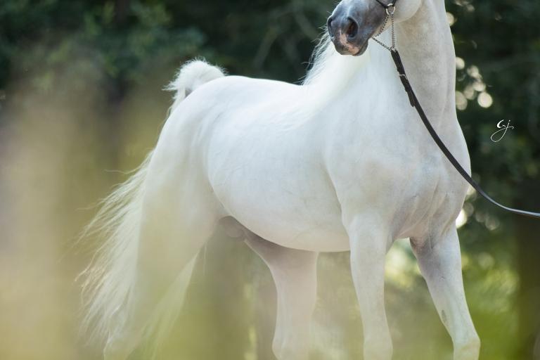 https://www.redwoodlodgearabians.com/core/image.php?src=app/media/uploads/website/30/photos/website_horses/2207/GJ_5620.jpg&width=768&height=512