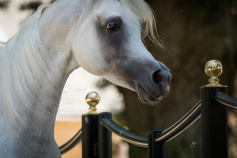 https://www.redwoodlodgearabians.com/core/image.php?src=app/media/uploads/website/30/photos/website_horses/2207/GJ_6850.jpg&width=768&height=512