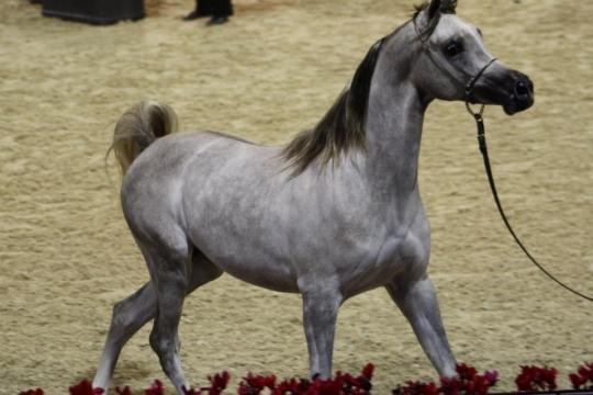 https://www.redwoodlodgearabians.com/core/image.php?src=app/media/uploads/website/30/photos/website_horses/2207/IMG_1516.JPG&width=540&height=360