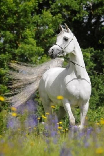 https://www.redwoodlodgearabians.com/core/image.php?src=app/media/uploads/website/30/photos/website_horses/2208/IMG_3211.JPG&width=360&height=540