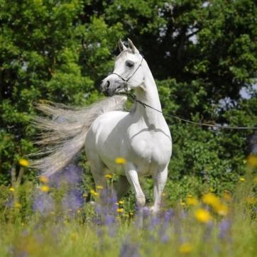 https://www.redwoodlodgearabians.com/core/image.php?src=app/media/uploads/website/30/photos/website_horses/2208/IMG_3211.JPG&width=362&height=362