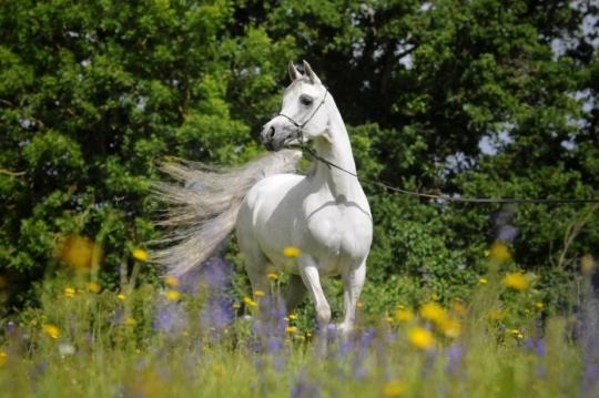 https://www.redwoodlodgearabians.com/core/image.php?src=app/media/uploads/website/30/photos/website_horses/2208/IMG_3211.JPG&width=540&height=360