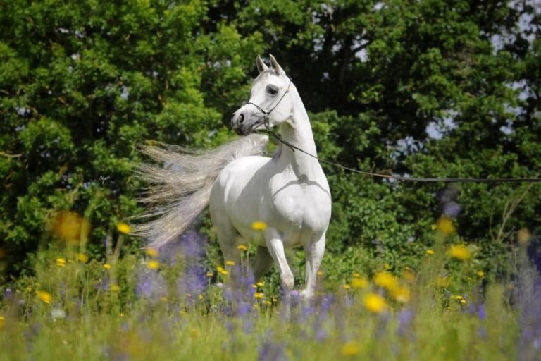 https://www.redwoodlodgearabians.com/core/image.php?src=app/media/uploads/website/30/photos/website_horses/2208/IMG_3211.JPG&width=768&height=512