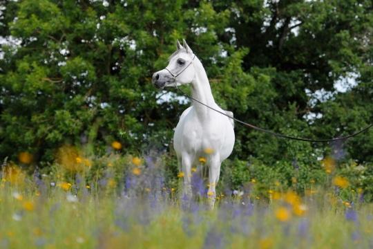 https://www.redwoodlodgearabians.com/core/image.php?src=app/media/uploads/website/30/photos/website_horses/2208/Sephoriaa_EYE4244web.jpg&width=540&height=360