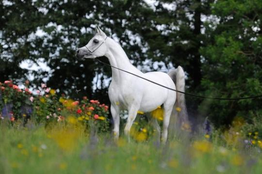 https://www.redwoodlodgearabians.com/core/image.php?src=app/media/uploads/website/30/photos/website_horses/2208/Sephoriaa_EYE4251web.jpg&width=540&height=360