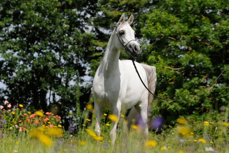 https://www.redwoodlodgearabians.com/core/image.php?src=app/media/uploads/website/30/photos/website_horses/2208/Sephoriaa_EYE4303web.jpg&width=768&height=512