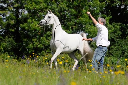 https://www.redwoodlodgearabians.com/core/image.php?src=app/media/uploads/website/30/photos/website_horses/2208/Sephoriaa_EYE4320web.jpg&width=540&height=360