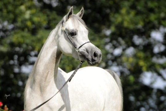 https://www.redwoodlodgearabians.com/core/image.php?src=app/media/uploads/website/30/photos/website_horses/2209/IMG_3215.JPG&width=540&height=360