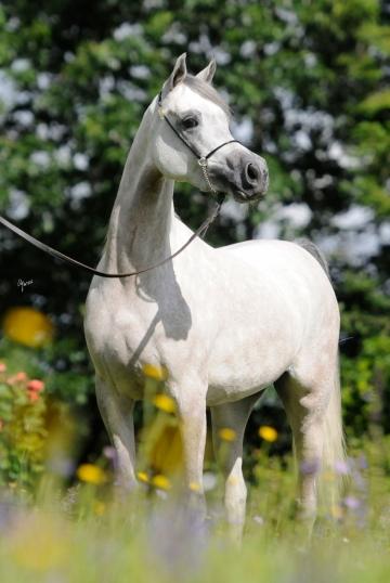 https://www.redwoodlodgearabians.com/core/image.php?src=app/media/uploads/website/30/photos/website_horses/2209/serafina_EYE4118web.jpg&width=360&height=540