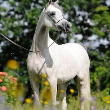 https://www.redwoodlodgearabians.com/core/image.php?src=app/media/uploads/website/30/photos/website_horses/2209/serafina_EYE4118web.jpg&width=362&height=362