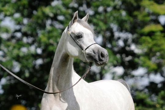 https://www.redwoodlodgearabians.com/core/image.php?src=app/media/uploads/website/30/photos/website_horses/2209/serafina_EYE4118web.jpg&width=540&height=360