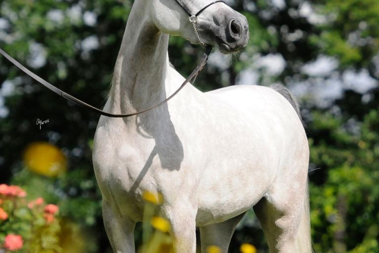 https://www.redwoodlodgearabians.com/core/image.php?src=app/media/uploads/website/30/photos/website_horses/2209/serafina_EYE4118web.jpg&width=768&height=512