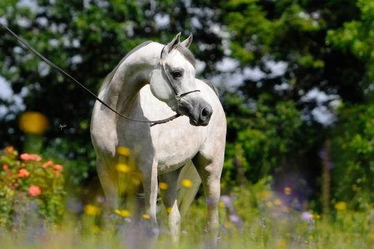 https://www.redwoodlodgearabians.com/core/image.php?src=app/media/uploads/website/30/photos/website_horses/2209/serafina_EYE4129web.jpg&width=540&height=360