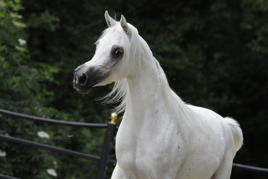 https://www.redwoodlodgearabians.com/core/image.php?src=app/media/uploads/website/30/photos/website_horses/2210/Tia_EYE5992web.jpg&width=540&height=360