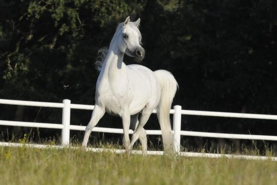 https://www.redwoodlodgearabians.com/core/image.php?src=app/media/uploads/website/30/photos/website_horses/2210/Tia_EYE6212web.jpg&width=540&height=360