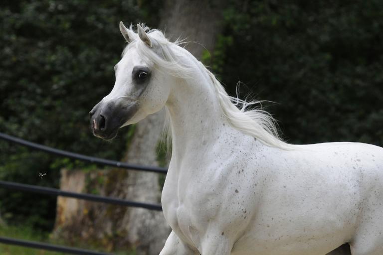 https://www.redwoodlodgearabians.com/core/image.php?src=app/media/uploads/website/30/photos/website_horses/2210/Tia_Maria_EYE5983web.jpg&width=768&height=512
