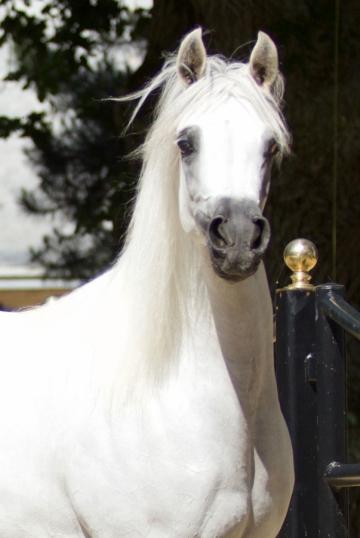 https://www.redwoodlodgearabians.com/core/image.php?src=app/media/uploads/website/30/photos/website_horses/2211/Margaritaa_web.jpg&width=360&height=540