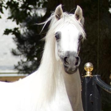 https://www.redwoodlodgearabians.com/core/image.php?src=app/media/uploads/website/30/photos/website_horses/2211/Margaritaa_web.jpg&width=362&height=362
