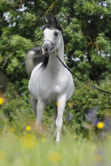 https://www.redwoodlodgearabians.com/core/image.php?src=app/media/uploads/website/30/photos/website_horses/2218/Asahi_EYE5577web.jpg&width=360&height=540
