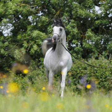 https://www.redwoodlodgearabians.com/core/image.php?src=app/media/uploads/website/30/photos/website_horses/2218/Asahi_EYE5577web.jpg&width=362&height=362