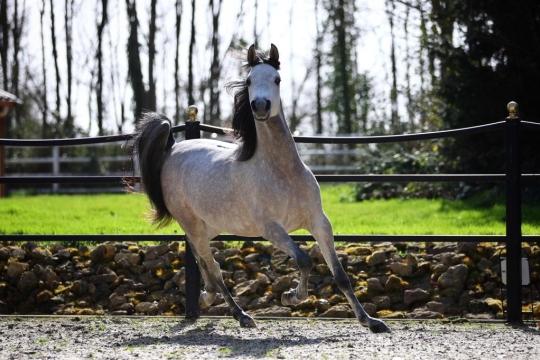 https://www.redwoodlodgearabians.com/core/image.php?src=app/media/uploads/website/30/photos/website_horses/2219/03818271_77e8_4c5a_981c_07f8f1015db0.JPG&width=540&height=360