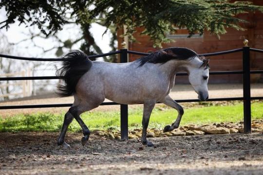 https://www.redwoodlodgearabians.com/core/image.php?src=app/media/uploads/website/30/photos/website_horses/2219/7d55fb0e_d853_45a6_9e42_3f74a1820fea_2.JPG&width=540&height=360