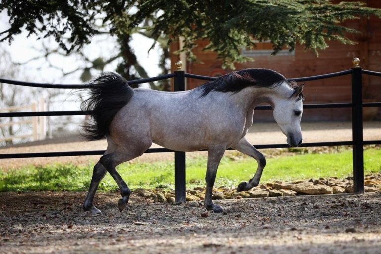 https://www.redwoodlodgearabians.com/core/image.php?src=app/media/uploads/website/30/photos/website_horses/2219/7d55fb0e_d853_45a6_9e42_3f74a1820fea_2.JPG&width=768&height=512