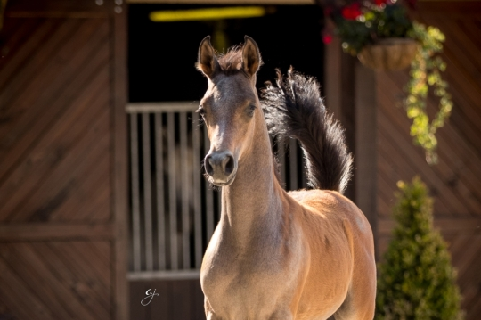 https://www.redwoodlodgearabians.com/core/image.php?src=app/media/uploads/website/30/photos/website_horses/2219/GJ_5984.jpg&width=540&height=360