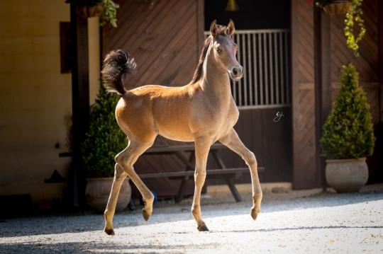 https://www.redwoodlodgearabians.com/core/image.php?src=app/media/uploads/website/30/photos/website_horses/2219/GJ_5993.jpg&width=540&height=360