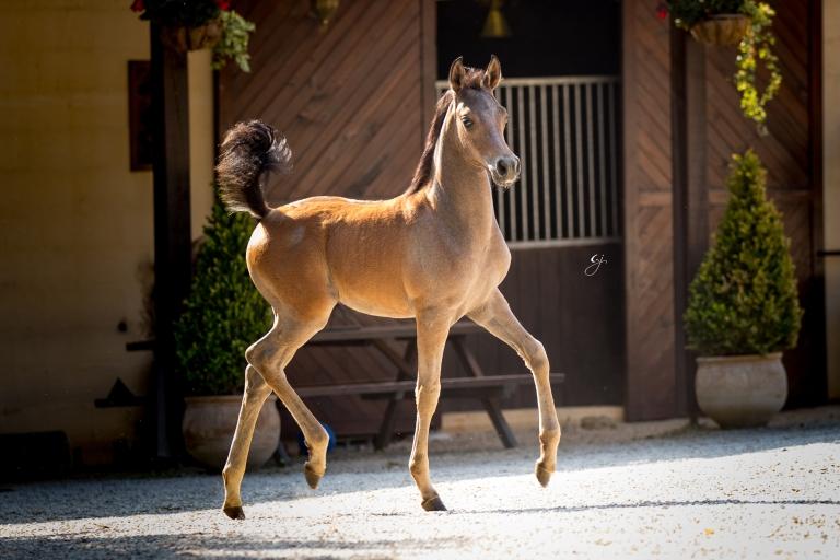 https://www.redwoodlodgearabians.com/core/image.php?src=app/media/uploads/website/30/photos/website_horses/2219/GJ_5993.jpg&width=768&height=512