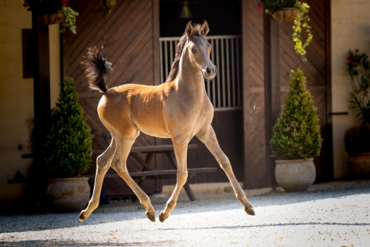 https://www.redwoodlodgearabians.com/core/image.php?src=app/media/uploads/website/30/photos/website_horses/2219/GJ_5994.jpg&width=540&height=360
