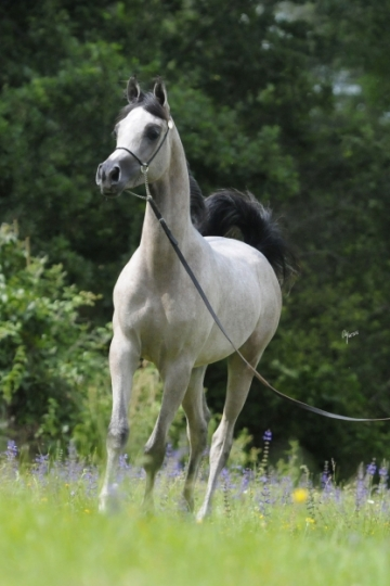 https://www.redwoodlodgearabians.com/core/image.php?src=app/media/uploads/website/30/photos/website_horses/2219/Salvador_EYE5835web.jpg&width=360&height=540