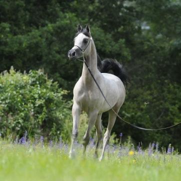 https://www.redwoodlodgearabians.com/core/image.php?src=app/media/uploads/website/30/photos/website_horses/2219/Salvador_EYE5835web.jpg&width=362&height=362