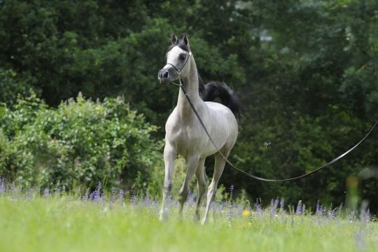 https://www.redwoodlodgearabians.com/core/image.php?src=app/media/uploads/website/30/photos/website_horses/2219/Salvador_EYE5835web.jpg&width=540&height=360