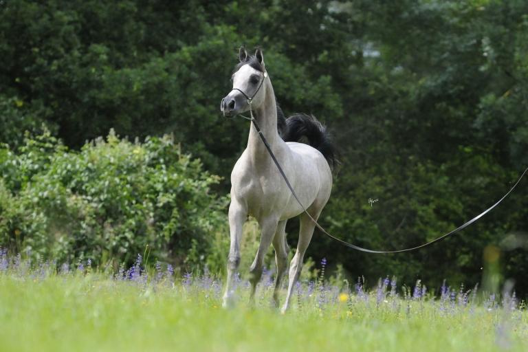 https://www.redwoodlodgearabians.com/core/image.php?src=app/media/uploads/website/30/photos/website_horses/2219/Salvador_EYE5835web.jpg&width=768&height=512