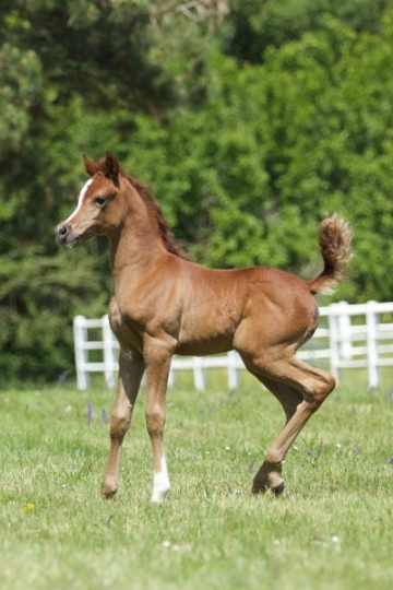 https://www.redwoodlodgearabians.com/core/image.php?src=app/media/uploads/website/30/photos/website_horses/2224/Afriquaa_web.jpg&width=360&height=540