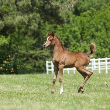 https://www.redwoodlodgearabians.com/core/image.php?src=app/media/uploads/website/30/photos/website_horses/2224/Afriquaa_web.jpg&width=362&height=362