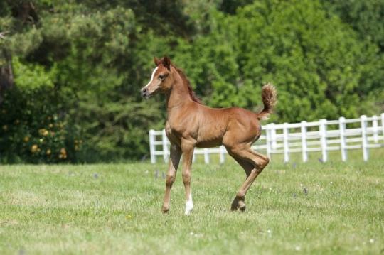 https://www.redwoodlodgearabians.com/core/image.php?src=app/media/uploads/website/30/photos/website_horses/2224/Afriquaa_web.jpg&width=540&height=360