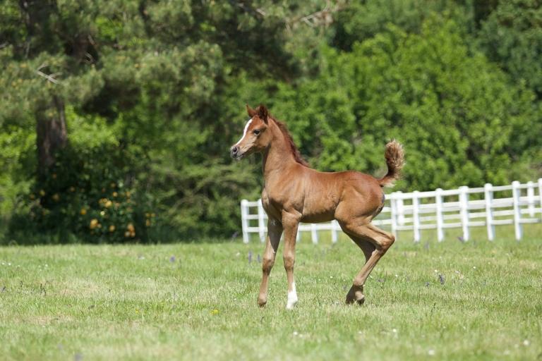 https://www.redwoodlodgearabians.com/core/image.php?src=app/media/uploads/website/30/photos/website_horses/2224/Afriquaa_web.jpg&width=768&height=512